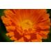 Nechtík lekársky - kvet 20g Hanus