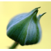 Ostružina malinová - list 20g Hanus